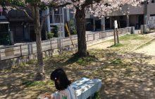 [TNR-042] cherry blossom blooming / guitarsisyo